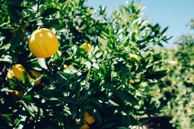 limonene terpene naturale